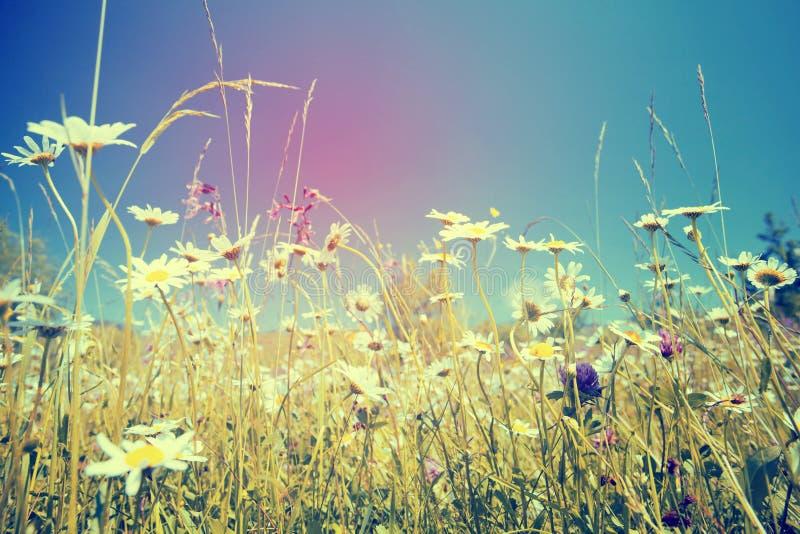 Belles marguerites blanches et ciel bleu image stock