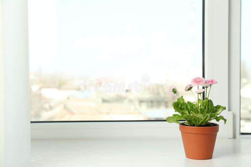 Belles marguerites de floraison dans le pot sur le filon-couche de fenêtre Juste plu en fonction photographie stock libre de droits