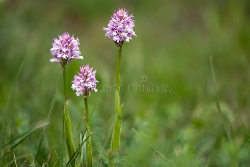 Belles orchidées de forêt de fleurs s'élevant dans le pré photographie stock libre de droits