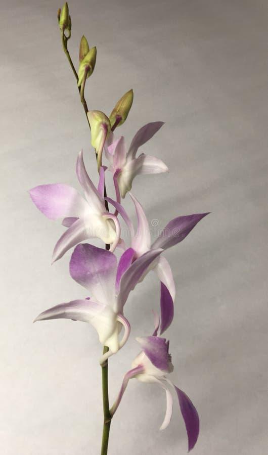Belles orchidées pourpres blanches étonnantes photo libre de droits