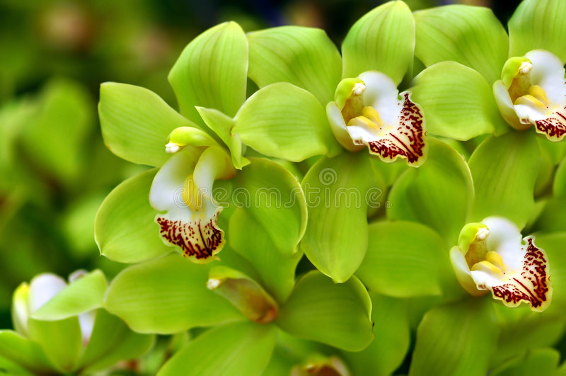 belles orchidées vertes photos libres de droits