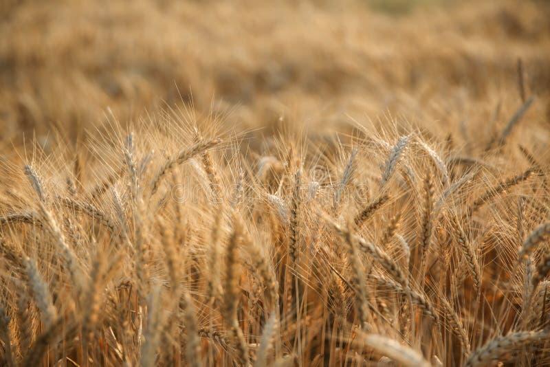 Belles oreilles de blé dans la fin du soleil de coucher du soleil  photographie stock