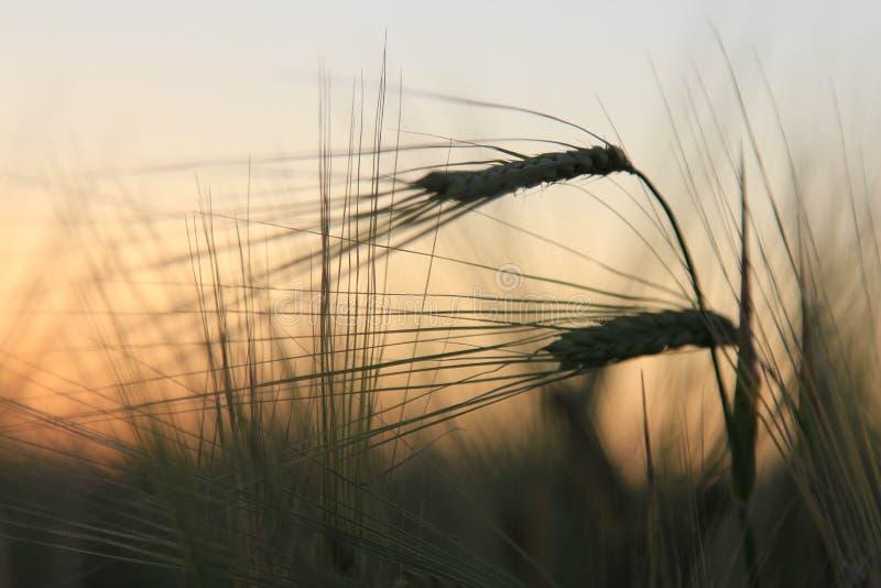 Belles oreilles de seigle au coucher du soleil photo stock