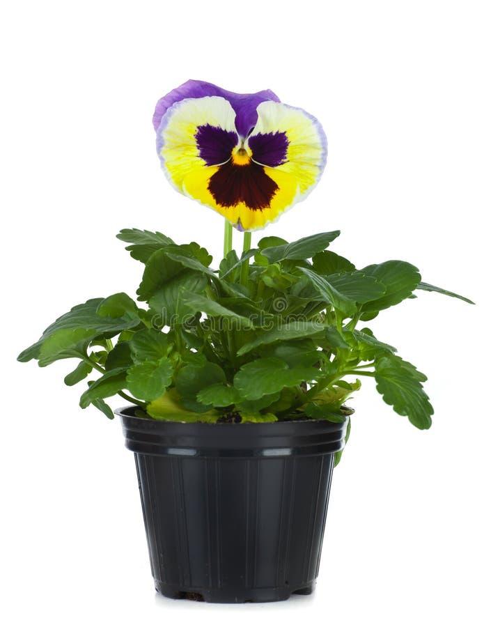 belles pens es dans le pot de fleurs d 39 isolement sur un blanc image stock image du plastique. Black Bedroom Furniture Sets. Home Design Ideas