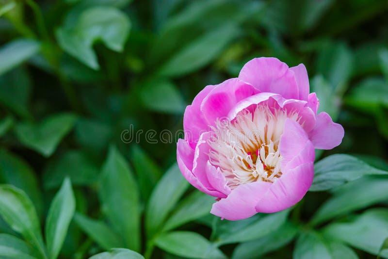 Belles pivoines d'arbustes dans le jardin Jour ensoleillé dans le jardin image libre de droits