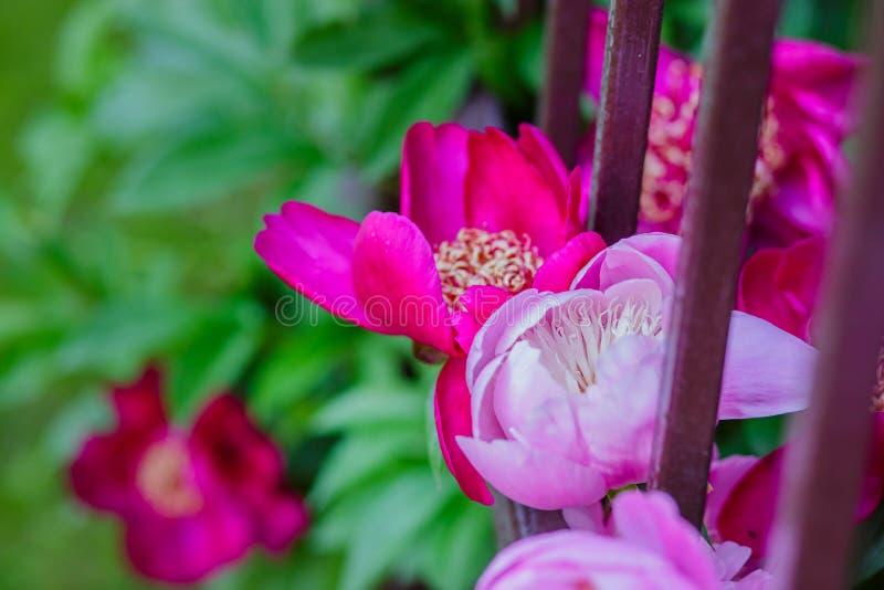 Belles pivoines d'arbustes dans le jardin Jour ensoleillé dans le jardin photographie stock libre de droits