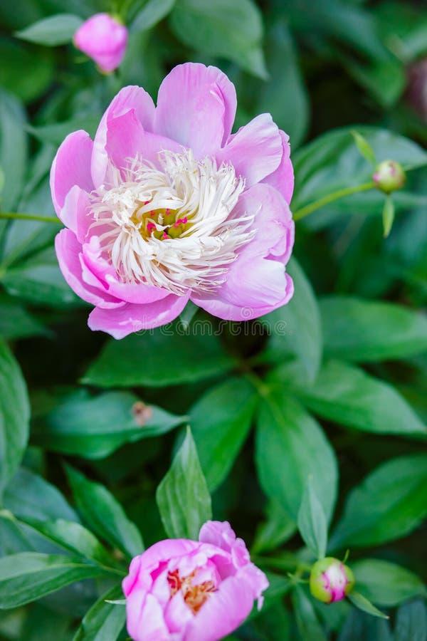 Belles pivoines d'arbustes dans le jardin Jour ensoleillé dans le jardin photos libres de droits