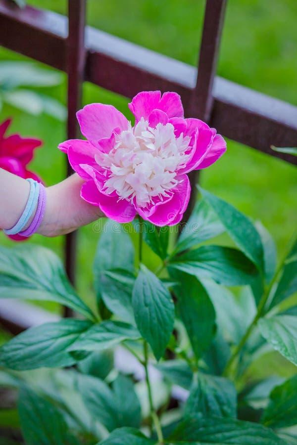 Belles pivoines d'arbustes dans le jardin Jour ensoleillé dans le jardin photos stock