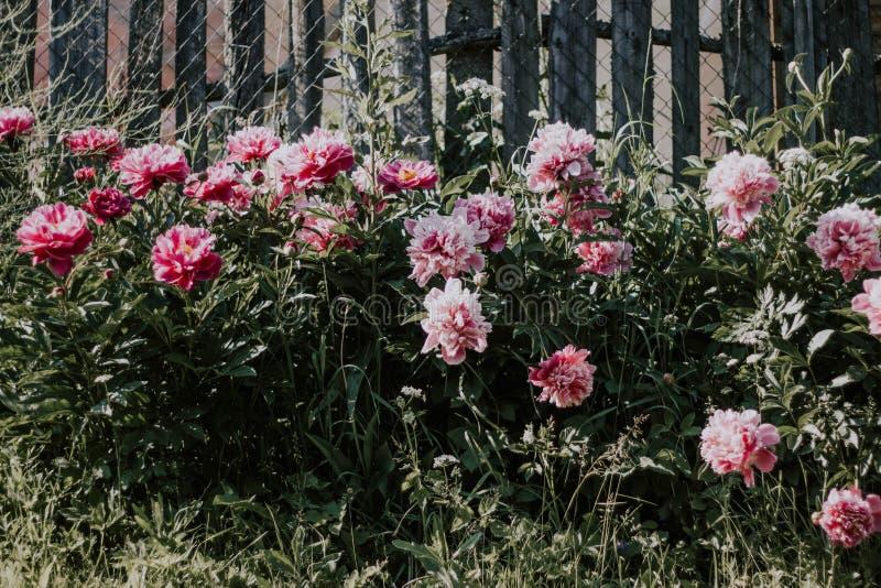 Belles pivoines roses de Bush sur un fond d'herbe verte et de barrière grise Fleurs roses et blanches dans le jardin Élevage de p photo libre de droits