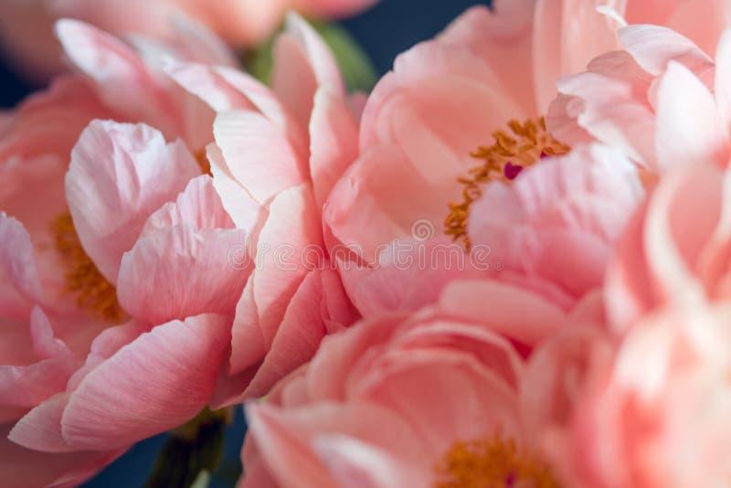 Belles pivoines roses, fleurs photos stock