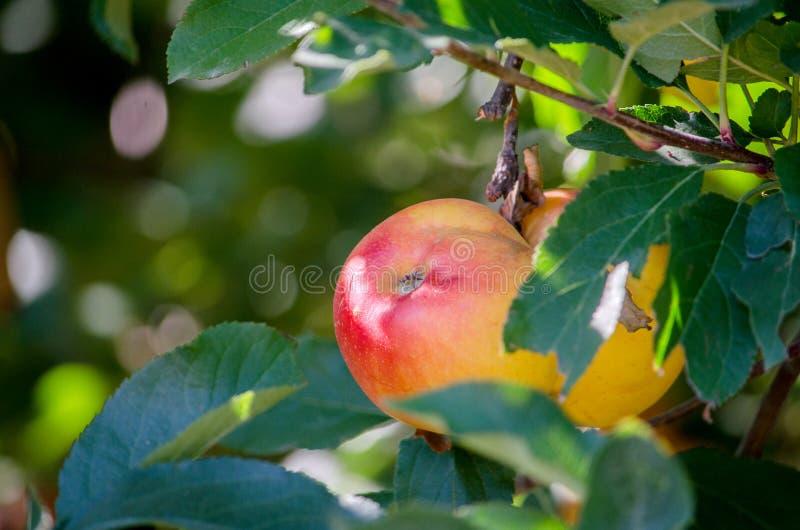 Belles pommes de gala dans un verger du Michigan photographie stock libre de droits