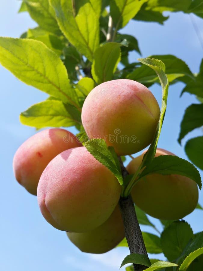 Download Belles Prunes Mûres Et Ciel Bleu D'été Photo stock - Image du plomb, ciel: 76084084