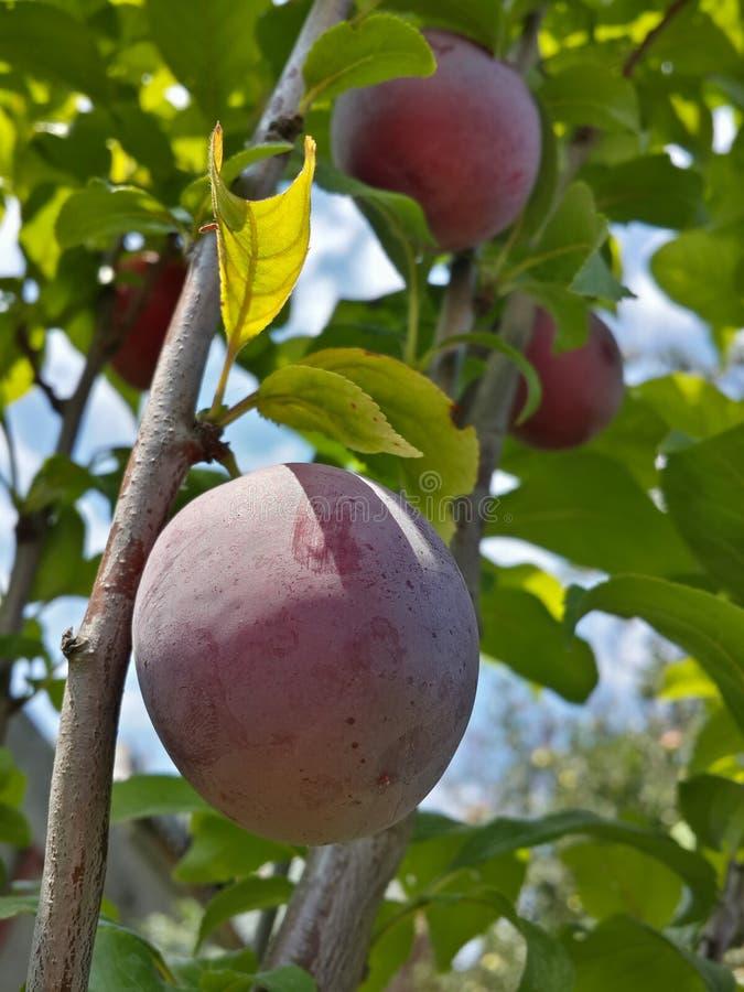 Download Belles Prunes Mûres Et Ciel Bleu D'été Image stock - Image du normal, fruit: 76084455