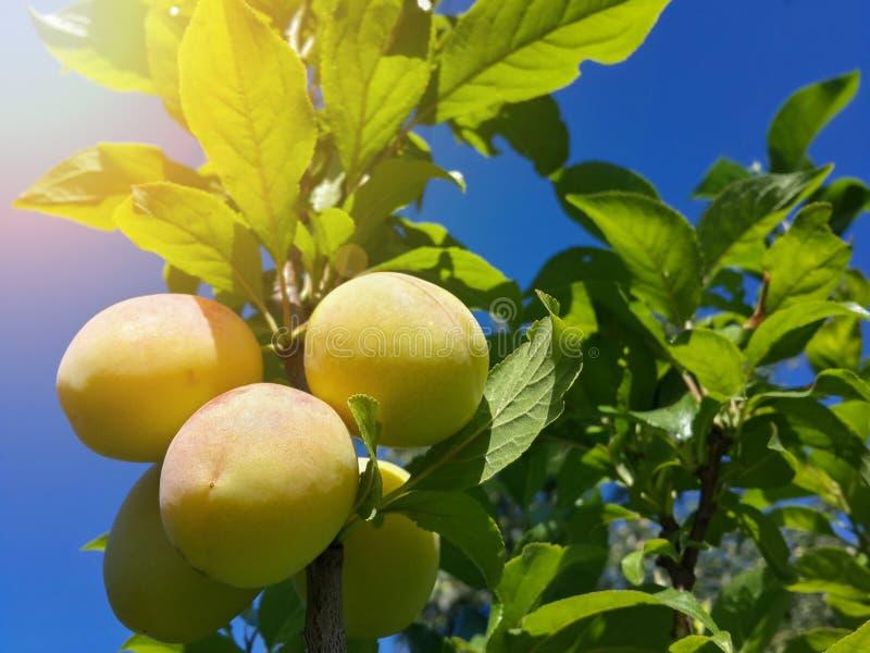 Download Belles Prunes Mûres Et Ciel Bleu D'été Photo stock - Image du verger, organique: 76084562