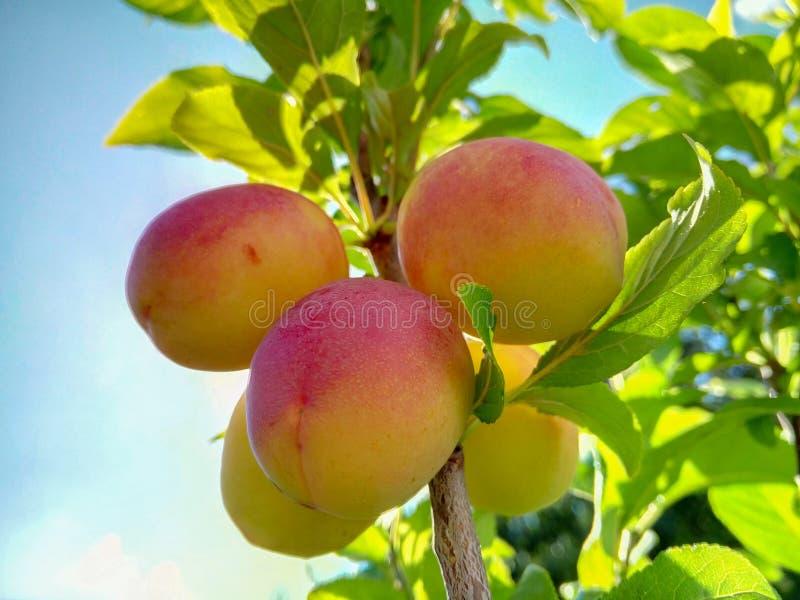 Download Belles Prunes Mûres Et Ciel Bleu D'été Image stock - Image du agriculture, verger: 76084711