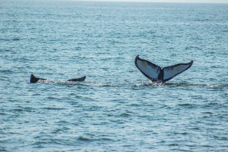 Belles queues de baleine des paires images stock