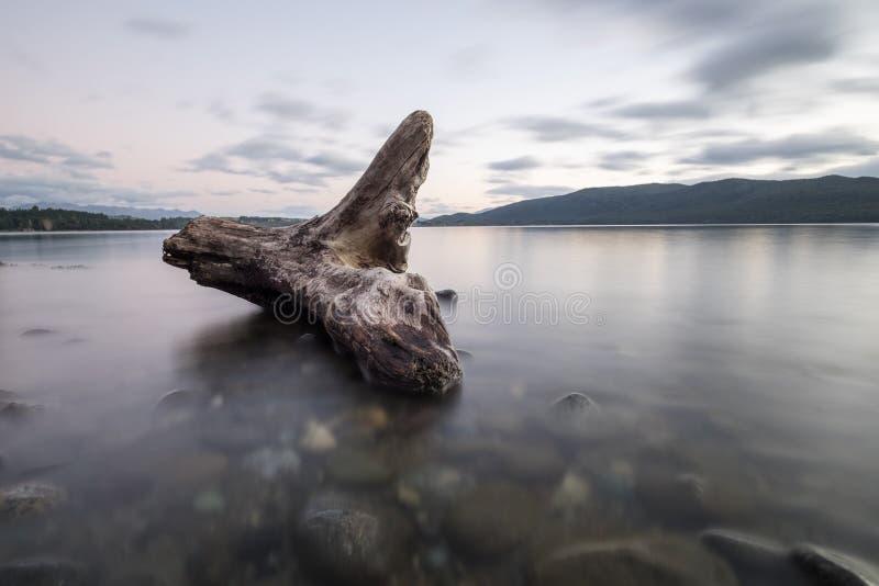 Belles racines d'arbre dans le lac calme photos stock