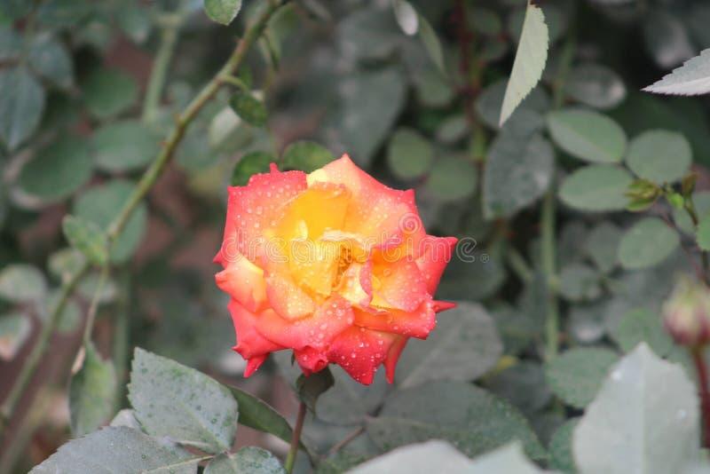 Belles roses photos stock