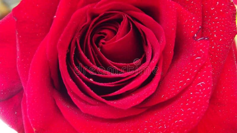 Belles roses dans le jardin images libres de droits