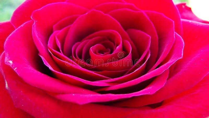 Belles roses dans le jardin images stock