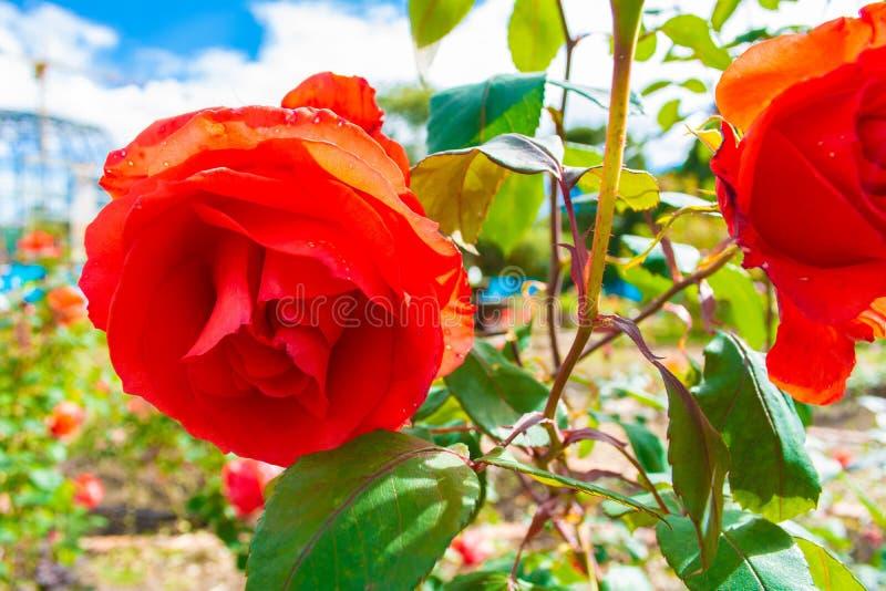 Belles roses dans le jardin image libre de droits