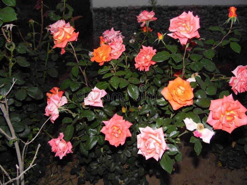 Belles roses dans ma cour images libres de droits