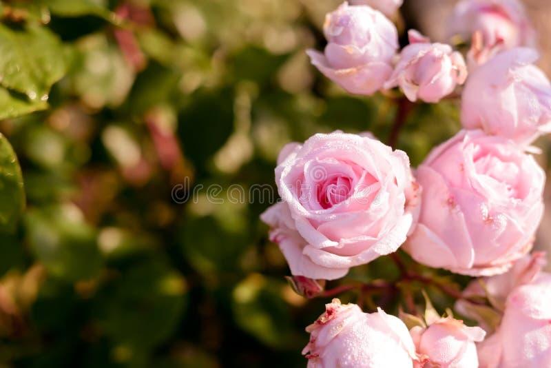 Belles roses dans Saint Emilion photo libre de droits