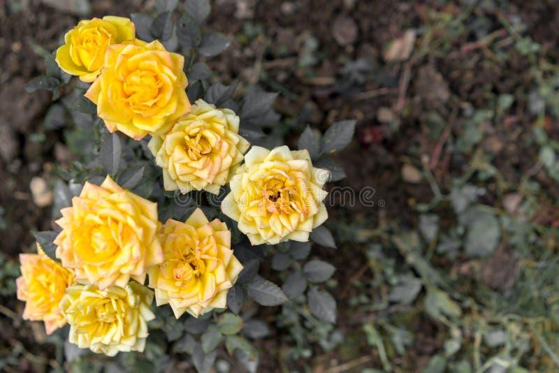 Belles roses jaunes, fin  images stock