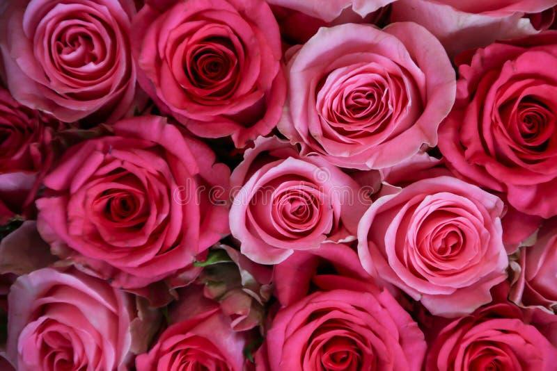 belles roses roses photographie stock libre de droits