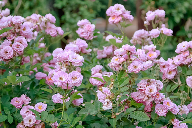 belles roses roses images libres de droits