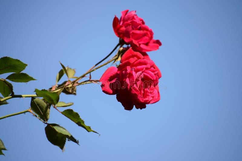 Belles roses rouges avec le fond de ciel photographie stock