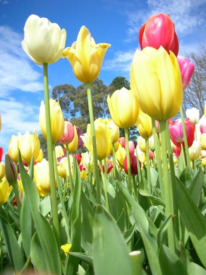 Belles tulipes image stock