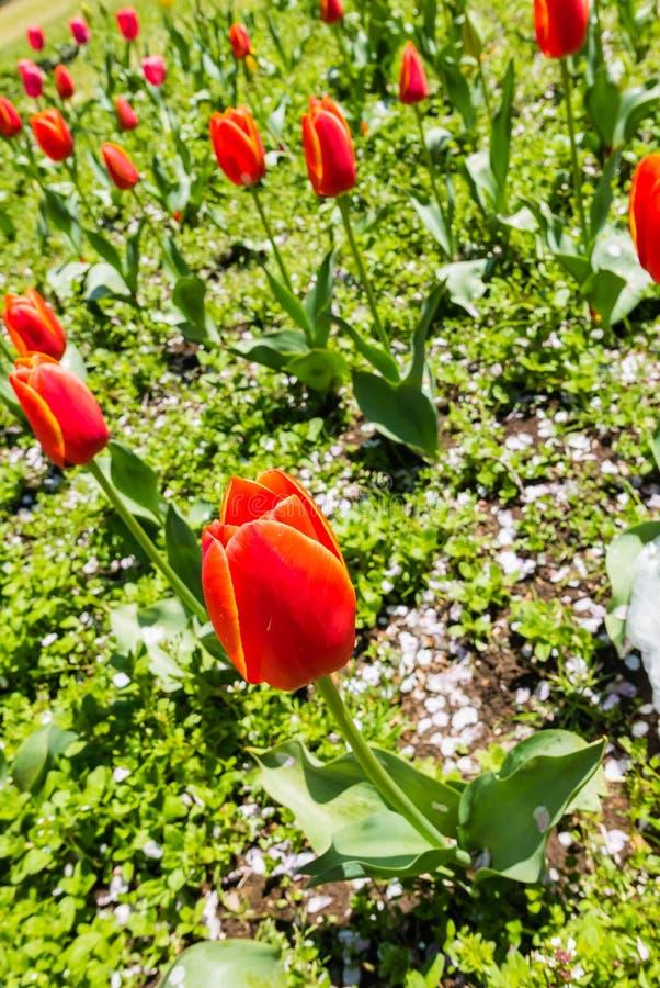 Download Belles tulipes photo stock. Image du centrale, fossé - 76088434