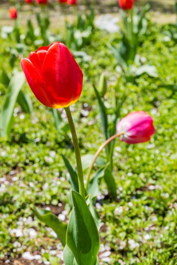 Download Belles tulipes photo stock. Image du stationnement, culturel - 76088488