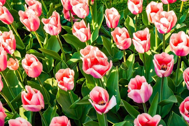 Belles tulipes colorées en Hollande - Nice fleurs photo stock