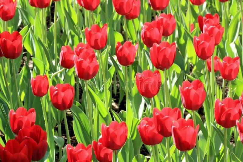 Belles tulipes d'écarlate illuminées par le soleil lumineux de ressort photographie stock