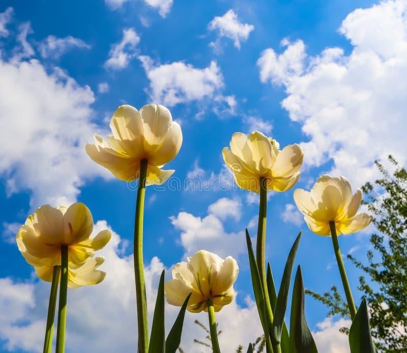 Belles tulipes jaunes sur le fond du ciel bleu avec des nuages photo libre de droits