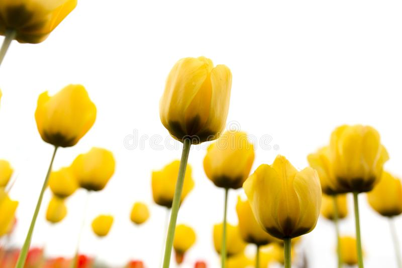 Belles tulipes jaunes sur un fond blanc photographie stock