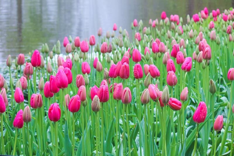 Belles tulipes roses photographiées en brouillard brumeux de matin un jour pluvieux Gouttes de pluie sur les pétales fuchsia et b images stock