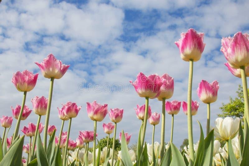 Belles tulipes roses sur le fond de ciel photos libres de droits