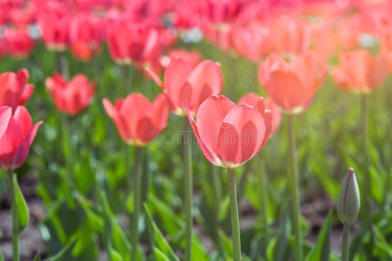 Belles tulipes rouges Tulipes rouges dans un parterre images stock