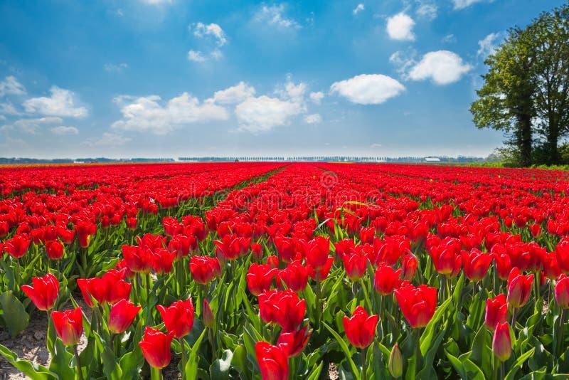 Belles tulipes rouges pendant le jour ensoleillé, Pays-Bas photos stock