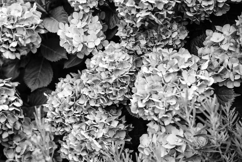 Belles usines de rhododendron en fleur photographie stock