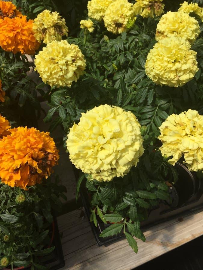 Belles, vibrantes fleurs jaunes et oranges photos libres de droits