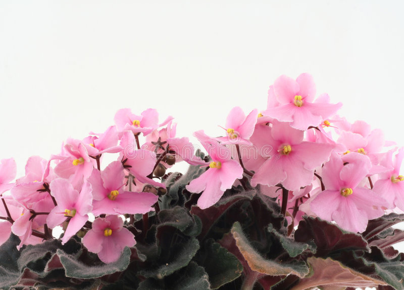 Belles violettes photos libres de droits