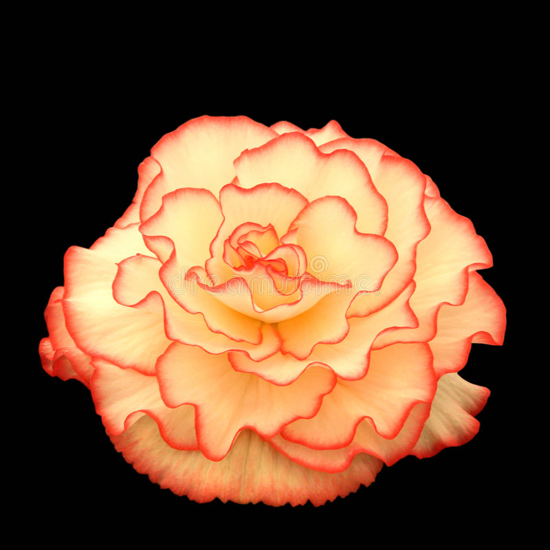 Download Belleza de la begonia imagen de archivo. Imagen de florist - 182257