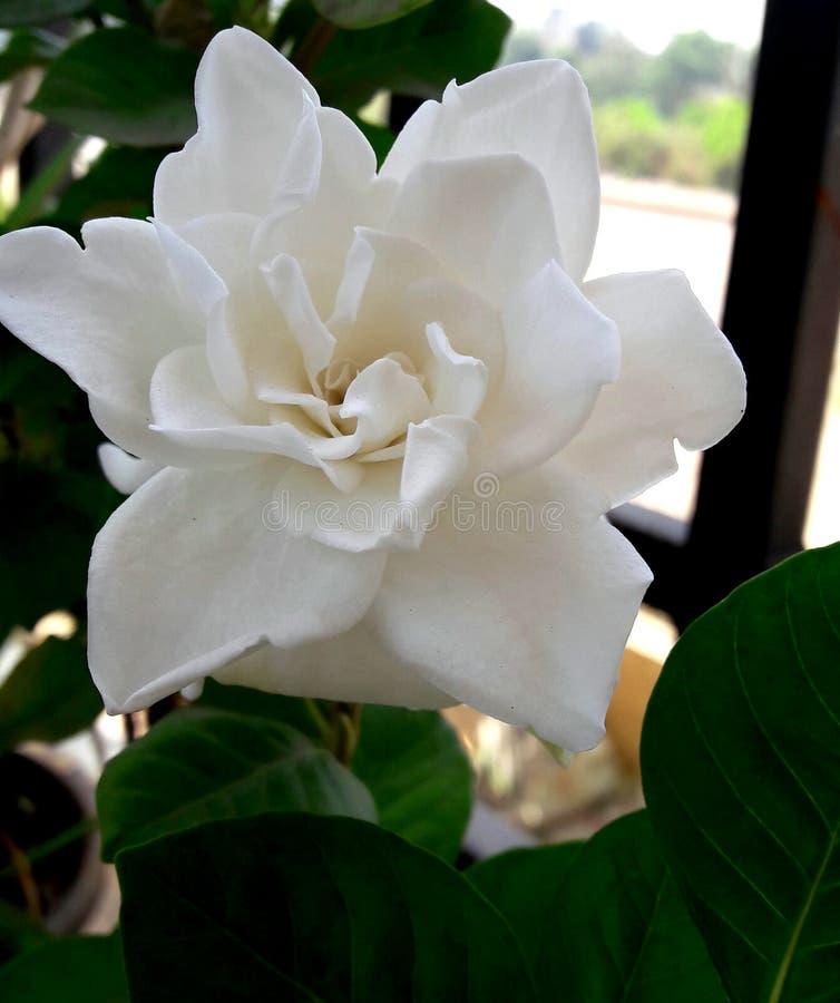 Belleza de la flor blanca fotografía de archivo