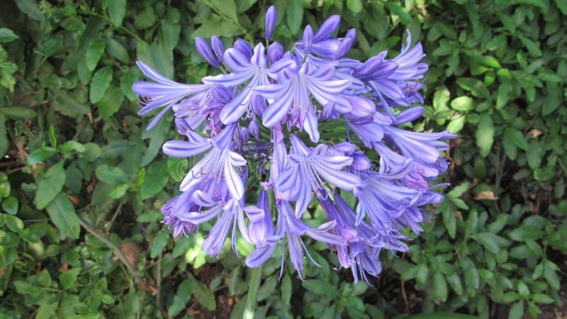 Belleza de la flor del Agapanthus fotografía de archivo libre de regalías