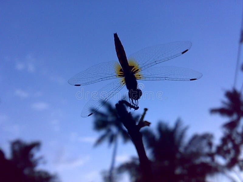 Belleza de la mosca del dragón fotografía de archivo libre de regalías