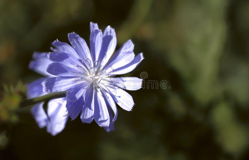 Belleza natural borrosa del fondo Flores púrpuras delicadas del Cichorium en un campo contra un lado imagenes de archivo